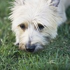 How to Brush a Cairn Terrier