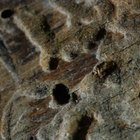 The hickory bark beetle leaves a 1/8-inch hole where it enters twigs.