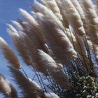 Pampas grass (Cortaderia selloana) is another invasive species.
