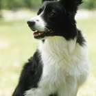 Growth & Weight of Border Collies
