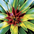 Bromeliad with variegated foliage generally do well in low light.