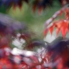 A variety of Japanese maple cultivars offer a range of foliage colors and habits.