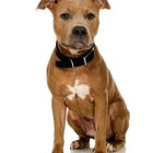 Ways to Care for an American Pit Bull