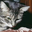 Separation Distress in Cats