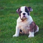 The Treatment for Excessive Shedding in an English Bulldog Puppy