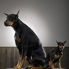 Miniature Doberman Hair Care