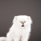 What Does a White Cat Mean?