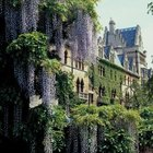 Wisteria are twining vines that wrap their stems around support structures.
