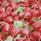 Radishes are a root vegetable that can tolerate shade.