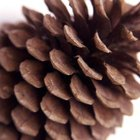 Longleaf pine cones are much longer than shortleaf pine cones.