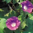 Morning glories are one of the most popular vining annual plants.