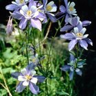 Columbine flowers can be one single color or bi-colored.
