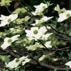 Pacific dogwood often blooms twice a year.