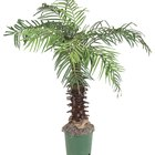 Is Lady Palm Safe for Cats?