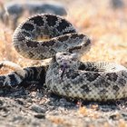 Facts on Rattlesnakes & Dogs