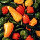 Capsicum species includes many varieties of peppers.