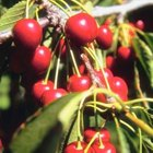 Cherry growers sometimes use pesticides to ensure that they have a marketable crop.