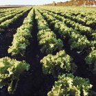 Lettuce leaves will retain their crispness better when harvested in the morning or evening.