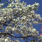 The colored blooms of dogwood trees enhance the landscapes near your home.
