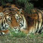What Color is a Tiger Cat?