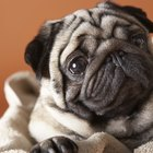 Pug Health 101: Maintain Your Pup's Weight