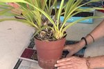 staghorn fern care instructions