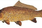 Different types of fish for small ponds ehow for Small pond fish types