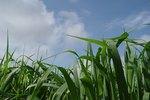 Benefits Of Powdered Wheatgrass Ehow