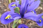 Can Iris Bulbs Be Planted In The Spring Ehow