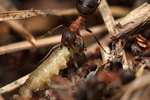 how to naturally kill ants indoors