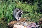 How to keep opossums out of the yard ehow - How to get rid of possums in the garden ...