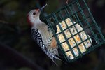 How To Keep Woodpeckers From Destroying Cedar Siding Ehow