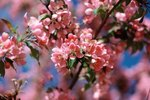 How To Grow Cherry Blossoms Ehow