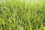 how to make grass grow thicker