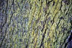 How To Kill Lichen On Trees Ehow