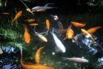 The minimum depth of ponds for fish in the winter ehow for Minimum depth for koi pond