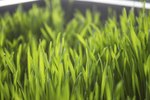 how long does it take to grow wheatgrass ehow. Black Bedroom Furniture Sets. Home Design Ideas