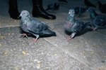How To Get Rid Of Pigeons On A Balcony With Pictures Ehow