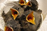 What Do Baby Birds Eat?