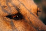 Glaucoma Symptoms for Dogs