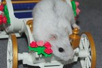 About Winter White Hamsters