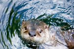 How Do Sea Otters Move?