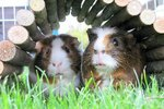 What Do Watery Eyes on a Guinea Pig Mean?