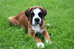 How to Potty Train Boxer Puppies