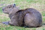 How to Care for a Pet Capybara
