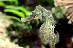 How to Care for a Lined Seahorse