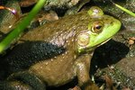 Types of Frogs & Toads That Live in Louisiana