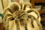 Ailments & Treatments for Tarantulas
