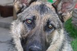 Cancer in German Shepherd Dogs