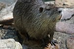 River Otter vs. Nutria